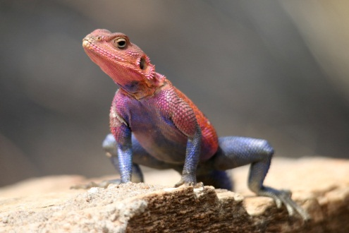 Leandra Kretschmer and husband, Bryan, were astounded to see so many pink and purple lizards in the Serengeti Picture: LEANDRA KRETSCHMER
